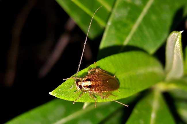 вымирание тараканов